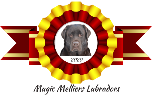Magic Melliers Labradors –  Kati Hokkanen