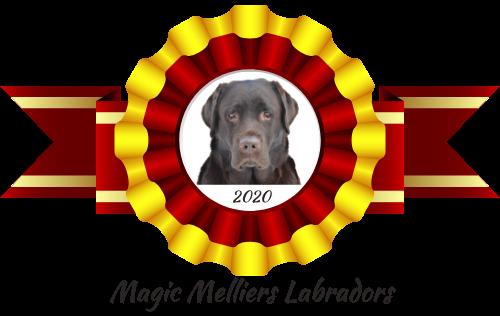 Magic Melliers Labradors –  Kati Hokkanen